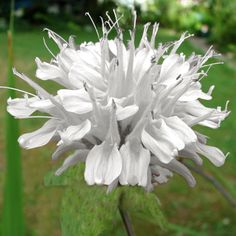 """Monarda 'Snow White' - Bõtanus Commonly known as Bee Balm it grows in an upright habit w/ dark green foliage that contrasts w/the flowers. Toothed, aromatic leaves . Monarda is attractive to hummingbirds, butterflies and bees. Prune to the ground each fall & divide as needed in spring. Monarda prefers sites w/moist soils & full sun but will grow well when some light shade is provided. Blooms: Mid Summer, Late Summer Ht:24"""". Zone 5-9."""
