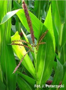Objawy niedoboru siarki w kukurydzy – chloroza górnych liści