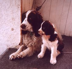 English Springer Spaniel Puppies!