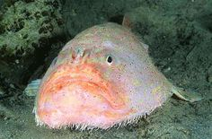 The Coffinfish, is a species of sea toad of the family Chaunacidae.