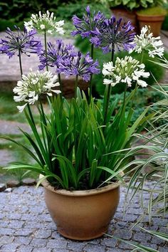 Gardening Autumn - Agapanthus look a lot better in pots than I thought they would. Stops them taking over the garden too. - With the arrival of rains and falling temperatures autumn is a perfect opportunity to make new plantations