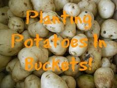How To Plant First Early Potatoes!