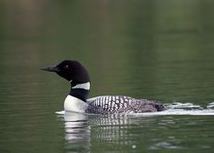 Loon - love the call of this bird (heard it on the lake when I was a nanny in Canada for a summer)