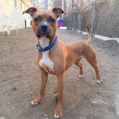 Kyla - URGENT - Town of Hempstead Animal Shelter in Wantagh, NY - ADOPT OR FOSTER - 3 year old Spayed Female Boxer - AT SHELTER SINCE January 2015 - She is a very playful and independent girl. She loves to play fetch in the yard and loves a soft bed to lay on. We are recommending a home with kids 13 and up! Kyla is social and playful with other dogs and would love to have a doggy sibling.