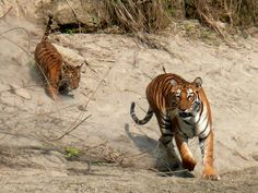#BengalTiger #Himalaya #Nepal @TIGER TOPS // crafting experiences - creating memories