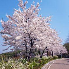 キャプション→ Strolling along these #CherryBlossom-lined pathways at #NaksanPark makes me feel like I'm in a Korean drama. #2Days2Love #Seoul #In2Days ユーザー→everywherein2days 場所→Naksan Park