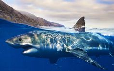 Resolution: size: 862 kB - shark in water ultra hd wallpaper Orcas, Shark Pictures, Shark Pics, Shark Images, Shark Painting, Save The Sharks, Shark Art, Megalodon, Mundo Animal