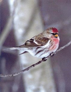 Image result for red poll bird