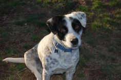 Patches is an adoptable Pointer Dog in Walnut Cove, NC. Patches is a male adult dog, probably a beagle and pointer mix estimated to be almost two years old. He was a stray that was never claimed by hi...