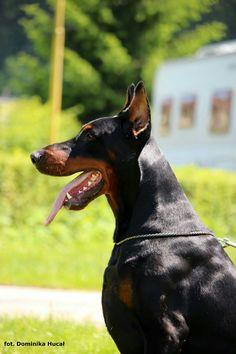 Doberman, Profile, Dogs, Animals, Pet Dogs, User Profile, Animales, Animaux, Doggies