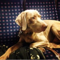 Feeling confortable... Slovakian Rough Haired Pointer Porthos, handsome chap. With @cruellamcg on the Thames Link.