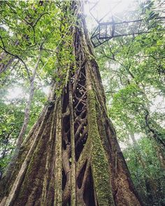 Do you know the strangler fig? It literally strangles its host tree until it dies, leaving a hollow interior for the adventurous to explore.  Photo via @atripeveryseason! #CostaRicaExperts #vacations #CostaRica