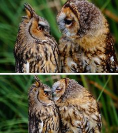 ♡♡♡♡♡♡ one of the most beautiful owl pictures I've seen. Animals And Pets, Baby Animals, Funny Animals, Cute Animals, Animal Memes, Funny Birds, Animal Pics, Beautiful Owl, Animals Beautiful