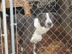 URGENT! SPONSORS NEEDED IMMEDIATELY FOR 'BIG MAC'Anatolian Shepherd & Labrador Retriever Mix • Adult • Male • Extra Large Loved me, But left me... Animal Rescue Leslie, AR  PLEASE CALL US FOR MORE INFO, THESE DOGS ARE IN DIRE NEED AND NEED YOUR HELP. PLEASE. 870-504-1108