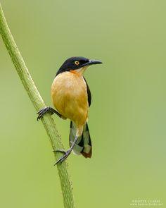 Black-capped donacobius (Donacobius atricapilla