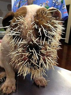 Bulldog gets 500 quills stuck in face after porcupine attack  -  This dog survived but the Vet staff had quite a removal job.