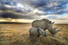 Rinocerontes Blancos - White Rhinoceros