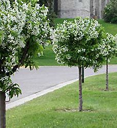 Cinderella Dwarf Flowering Crab (Malus 'Cinzam') at English Gardens. 8'x5'.  For around patio?
