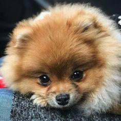 So adorable #Pomeranian