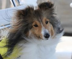 Sheltie Nation - Navigator of the cute!