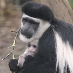 The Eastern Black-and-white Colobus is native to much of west central and east Africa, including Cameroon, Equatorial Guinea, Nigeria, Ethiopia, Kenya, Tanzania, Uganda and Chad. Photo Credit: ZSL London Zoo