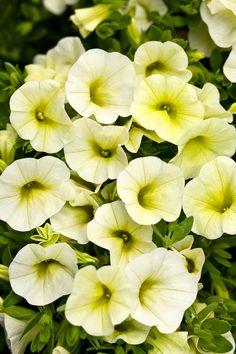 Superbells®+Yellow+Chiffon+-+Calibrachoa+hybrid Unique Flowers, Colorful Flowers, Beautiful Flowers, Yellow Plants, Yellow Flowers, Types Of Plants, All Plants, Plant Order, Thing 1