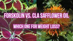 Forskolin Vs. CLA Safflower Oil: Which One for Weight Loss? Losing Weight Tips, Weight Loss Tips, Lose Weight, Health Articles, Health Tips, Cla Safflower Oil, Coconut Oil Weight Loss, Food Facts, Weight Loss Supplements