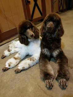 """Visit our website for more relevant information on """"poodle dogs"""". It is a great area for more information. Pet Dogs, Dogs And Puppies, Dog Cat, Doggies, Corgi Puppies, Weiner Dogs, Chocolate Poodle, Poodle Cuts, Dog Grooming Business"""