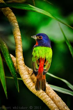 Painted Bunting male by Robert Whitaker,