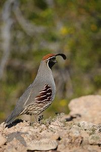 Gambel's quail are native throughout the western states; this pic was taken in Arizona