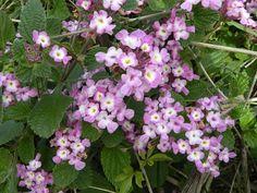 Uruguay's wildlife & Natural sanctuaries - Santuarios naturales & flora y fauna indígena de Uruguay: Salvia morada (Lippia alba)