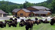 The State Game Lodge is a gracious native stone and wood lodge built in Presidents Coolidge and Eisenhower have stayed within its historic walls. State Game, State Parks, Rv Parks, Custer State Park, Game Lodge, Forest View, Park Resorts, South Dakota, Lodges