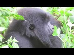 Virunga Mountain Gorillas, shot Saturday 6 July when I was in Congo - amazing animals - must be protected