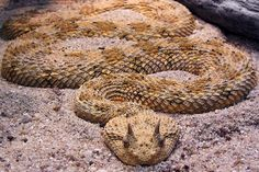 Saharan horned viper The Saharan horned viper, also known as the desert horned viper, is the most familiar snake in North Africa and the Middle East, says a University of Oxford researcher.