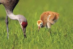 Sandhill crane babies are so cute, but then they grow up....