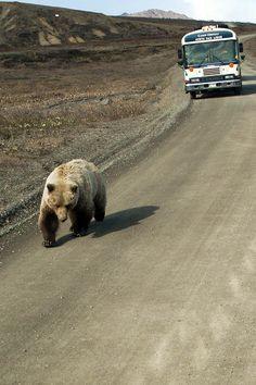 bear being followed