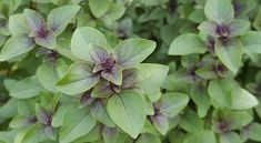 Ocimum tenuiflorum Sacred Tulsi Holy Basil Closely related to the more common culinary basil. This plant is known as Holy Basil due to its use in Tulsi Plant, Herbal Remedies For Anxiety, Tulsi Tea, Thai Basil, Basil Tea, Aromatic Herbs, Healing Herbs, Adrenal Fatigue, Vegetable Gardening