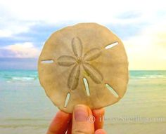 Shelling on Sanibel Tips and Facts