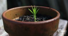 Grow a nectarine tree - or any stone fruit - from a seed.