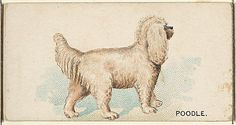 Issued by Goodwin & Company. Poodle, from the Dogs of the World series for Old Judge Cigarettes, 1890. The Metropolitan Museum of Art, New York. The Jefferson R. Burdick Collection, Gift of Jefferson R. Burdick (Burdick 214, N163.37) #dogs