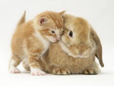 Domestic Kitten (Felis Catus) Next to Bunny, Domestic Rabbit Premium Poster