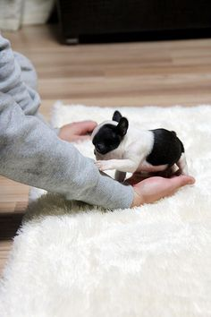 Teacup French Bulldog Puppies | French bulldog.