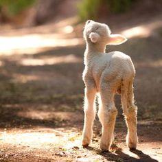 Cute little lamb enjoying the sun... Sun is around the corner
