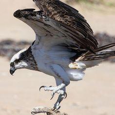 Talons to die for. . . . . . . #osprey #talons #bird #australia #oz #westernaustralia #nationalpark #exmouth #wa #ningaloo #ningalooreef #feather #birdofprey #birds #hunting