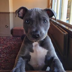 Ramsey #tbt Blue Staffordshire Bull Terrier ♡♥♡♥♡♥ #animals #puppy #dogs
