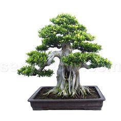 _bonsai+3.jpg (960×810) ❤ liked on Polyvore featuring home, home decor, floral decor, plants, fillers, nature, flowers, decor, flower stem and flower home decor