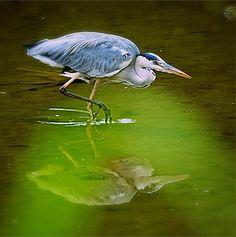 Heron reflected in water