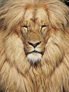 Looks like a wise & powerful old man. Katanga or Southwest African Lion (Panthera leo bleyenberghi) is found in Namibia, Botswana, Zimbabwe, Zambia, Angola and the Dem. Republic of Congo.   Photo taken at the Ústí nad Labem zoo - Ustecky, Czech Republic.  -kc