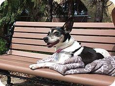Manhattan, IL - Rat Terrier Mix. Meet Betsy, a dog for adoption. http://www.adoptapet.com/pet/18826651-manhattan-illinois-rat-terrier-mix