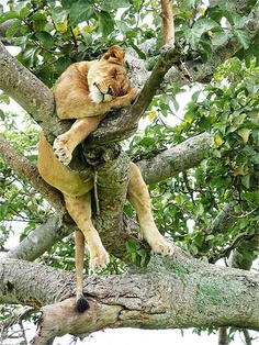 Big cats need naps too!
